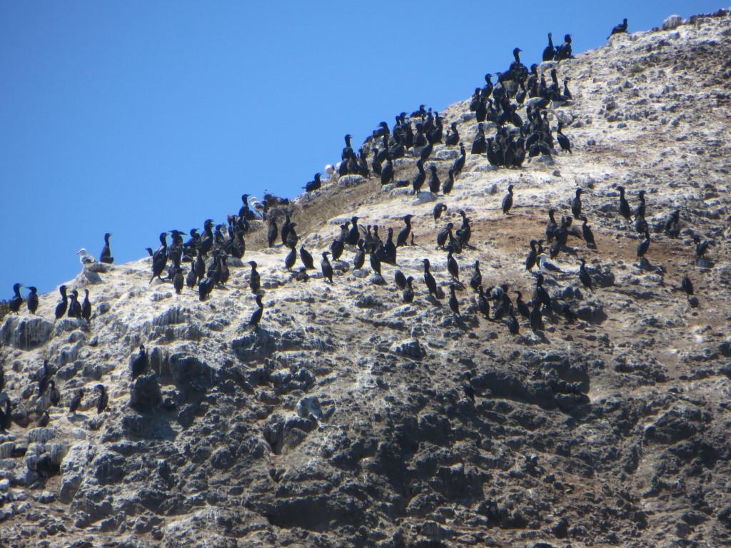 Unter anderem bevölkern zahlreiche Kormorane und Pelikane die Insel