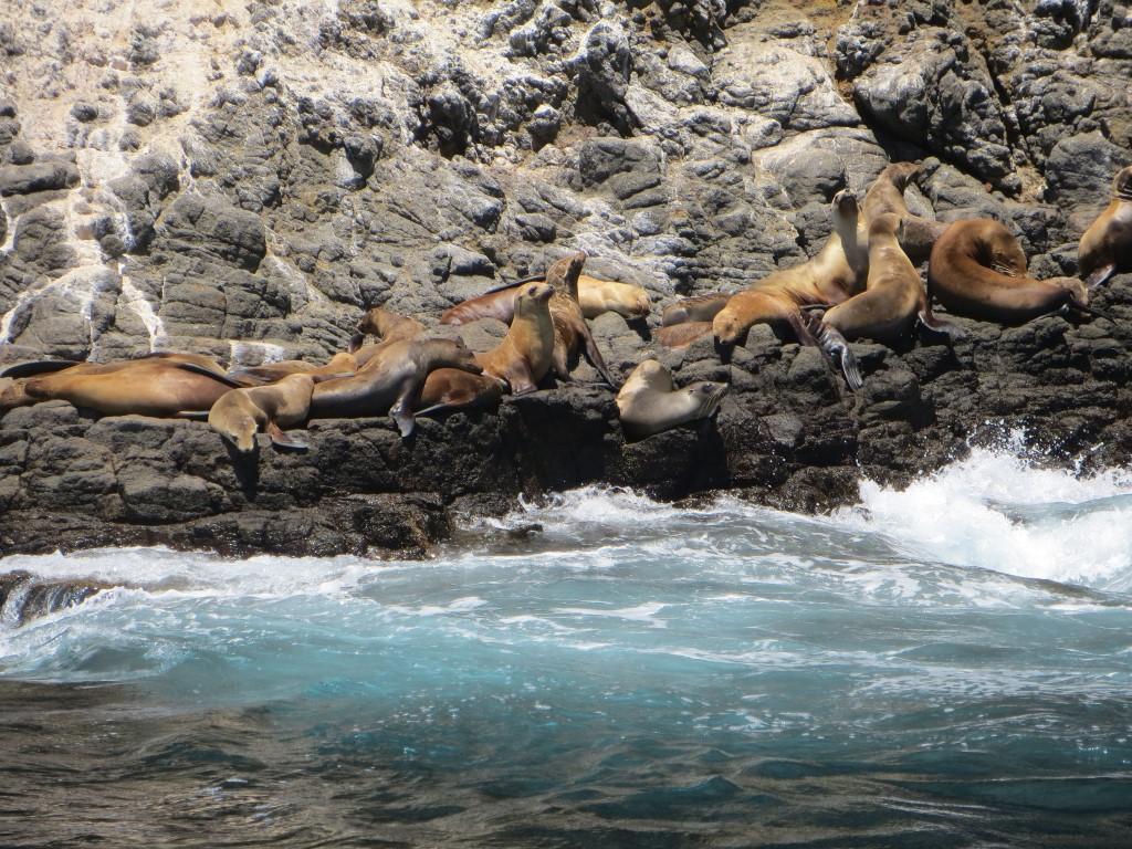 Die kalifornischen Seelöwen sind rund um die Insel sehr gut zu sehen und zu hören